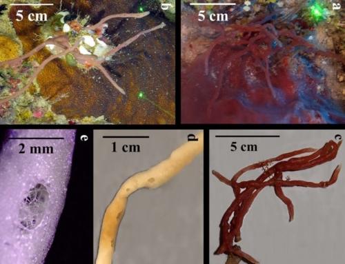 Mesophotic Sponges of the Genus Callyspongia (Demospongiae, Haplosclerida) from Cuba, with Descriptions of Two New Species